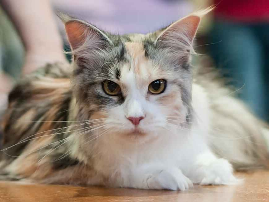 Royal Canin Maine Coon Dry Cat Food Review - Maine Coon Hawaii