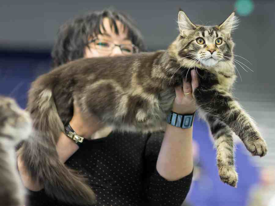 The Best Maine Coon Litter Box (2020 Review) - Maine Coon ...