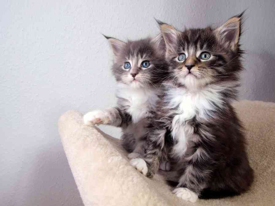 Royal Canin Maine Coon Kitten Food Review (2020) - Maine ...